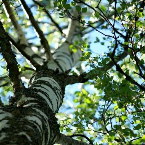 puiden istutus istutamme puita saaren taika (1)